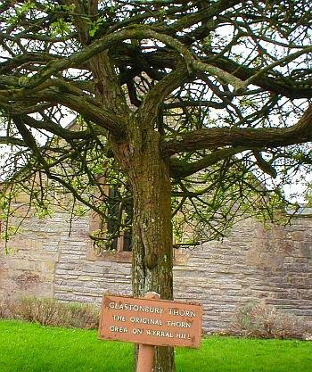 The Glastonbury thorn tree